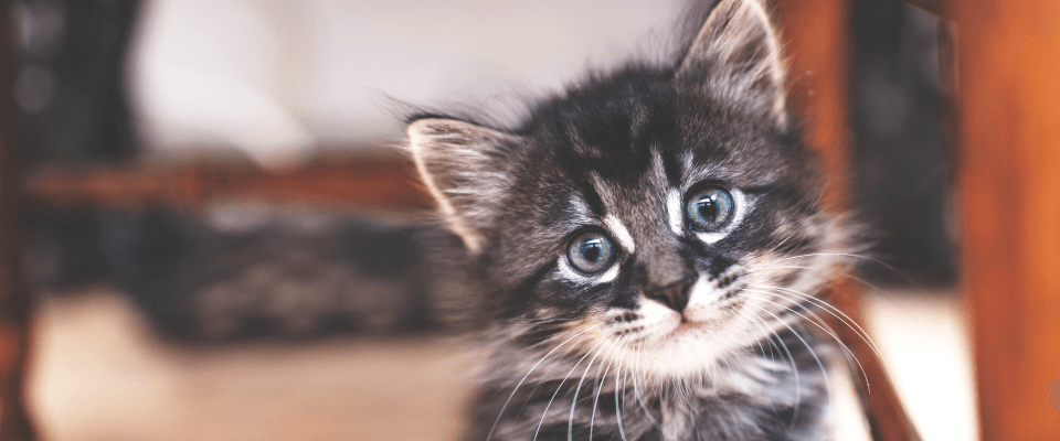 Wellness Care – Kitten